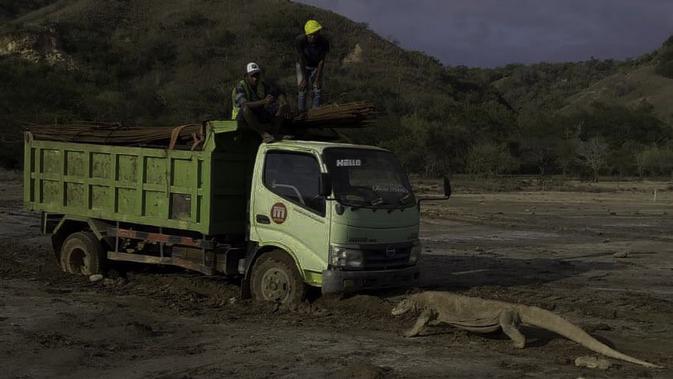 Seekor Komodo menghadang truk proyek di Pulau Rinca (dok: @KawanBaikKomodo)