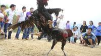 Untuk menambah jumlah wisatawan yang berkunjung ke kota ini, pemerintah setempat akan melegalkan sabung ayam