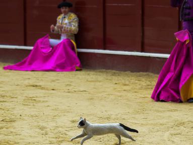Seekor kucing terlihat berlari saat berlangsungnya adu banteng di arena laga banteng La Santamaria, Bogota, Kolombia, 28 Januari 2018. (AFP PHOTO / Raul Arboleda)