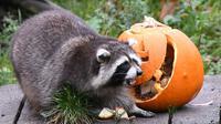 Seekor rakun berjalan di samping labu berisi makanan saat perayaan Hari Halloween di kebun binatang di Hanover, Jerman, Kamis (25/10). (Peter Steffen/dpa/AFP)