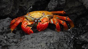 Ilustrasi kepiting (Pixabay)
