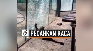 Kaca pelindung kebun binatang Zhengzhou, China retak karena dipukul menggunakan batu oleh monyet jenis capuchin. Insiden ini membuat beberapa pengunjung panik.