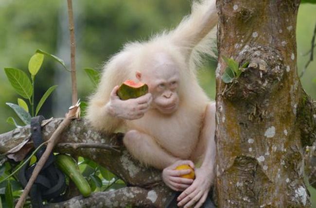 Alba adalah orangutan albnino langka asal pulau Borneo Kalimantan/copyright merdeka.com/HO/BOS Nyaru Menteng