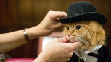 Sam Checo, mendandani kucing Mango dibelakang panggung sebelum tampil dalam pertunjukkan fashion show kucing di Hotel Algonquin di New York, AS (2/8). (AP Photo/Mary Altaffer)