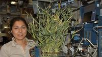 Peneliti NASA, Anousheh Ansari, memperlihatkan tanaman yang tumbuh dalam modul pesawat luar angkasa. Foto : NASA