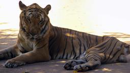 Seekor harimau yang bertubuh kurus beristirahat di kandangnya di sebuah kebun binatang di Maracaibo, Venezuela, (14/2). Krisis ekonomi parah yang dialami Venezuela ternyata juga berdampak bagi kehidupan satwa-satwa di sana. (AFP Photo/Miguel Romero)