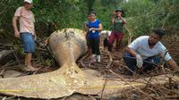 Paus bungkuk ditemukan mati di tengah-tengah vegetasi Pantai Araruna di Pulau Marajo, wilayah hutan hujan Amazon, Brasil pada 22 Januari 2019. Bangkai paus itu tergeletak di lokasi berjarak 15 meter dari tepi pantai. (HO/Acervo Instituto Bicho D'Agua/AFP)