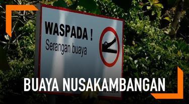 Warga yang bermukim di sekitar Nusakambangan dibuat geger dengan kemunculan beberapa ekor buaya.