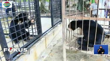 Pemilik serahkan beruang madu ke Balai Besar Konservasi Sumber Daya Alam (BBKSDA) Provinsi Riau. Beruang diduga tidak dirawat dengan baik sehingga tubuhnya kurus.