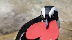 Seekor penguin membawa sarang berbentuk hati dari para ahli biologi di Akademi Ilmu Pengetahuan California yang terletak di San Francisco, Selasa (13/2). Kado itu sebagai bentuk perayaan hari Valentine atau kasih sayang. (AP Photo/Marcio Jose Sanchez)