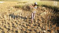 Petani menyelamatkan tanaman padinya dari kegagalan panen akibat musim kemarau di Ridogalih, Cibarusah, Bekasi, Minggu (7/7/2019). Ratusan hektare sawah gagal panen di wilayah Bekasi hingga membuat para petani merugi sampai miliaran rupiah. (merdeka.com/Arie Basuki)