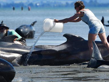 Seorang relawan menyiramkan air ke ikan paus pilot yang terdampar di Farewell Spit, Selandia Baru (11/2). Sedikitnya 400-an paus pilot terdampar di ujung dari Pulau Selatan, tepatnya di area Farewell Spit. (AFP/Marty Melville)