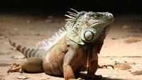 Ilustrasi iguana (Pixabay)