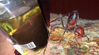 Netizen dihebohkan dengan foto semut merah yang penuhi sebungkus minyak goreng. (Sumber: Twitter/@Chocomintheee/Sci-news)
