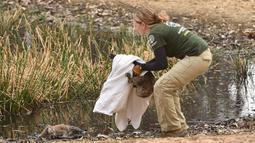 Humane Society International Crisis Response Specialist Kelly Donithan menyelamatkan koala yang terluka di Pulau Kanguru, Australia, 15 Januari 2020. Para pakar khawatir separuh dari 50.000 koala yang tinggal di Pulau Kanguru di Australia Selatan mati dalam kebakaran hebat. (PETER PARKS/AFP)