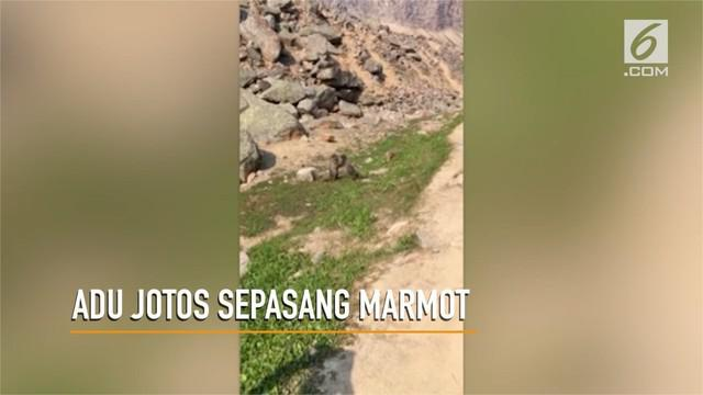 Sepasang Marmot yang tengah berkelahi menjadi perhatian pengunjunf Tman Nasional Jasper, Alberta, Kanada