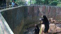 Pengunjung mengambil gambar beruang madu di dalam kandang Kebun Binatang Bandung, Jawa Barat, Rabu (18/1). Beruang madu yang kelaparan di Bonbin Bandung itu menjadi sorotan media dan aktivis perlindungan hewan internasional. (TIMUR MATAHARI/AFP)
