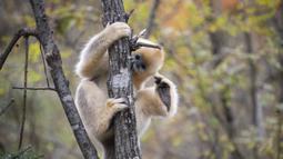 Seekor monyet emas di Pusat Penelitian Monyet Emas Dalongtan, Taman Nasional Shennongjia, Provinsi Hubei, China, 11 Oktober 2020. Berkat upaya otoritas setempat dan perbaikan lingkungan selama beberapa tahun terakhir, jumlah monyet emas di Shennongjia kini hampir 1.500 ekor. (Xinhua/Wang Siban)