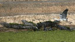 Burung bangau terbang di atas kawanan buaya yang tengah berjemur, di Paraguay, 24 Juni 2016. Perbatasan antara Paraguay dan Argentina tengah menghadapi kekeringan terburuk selama hampir dua dekade. (REUTERS/Jorge Adorno)