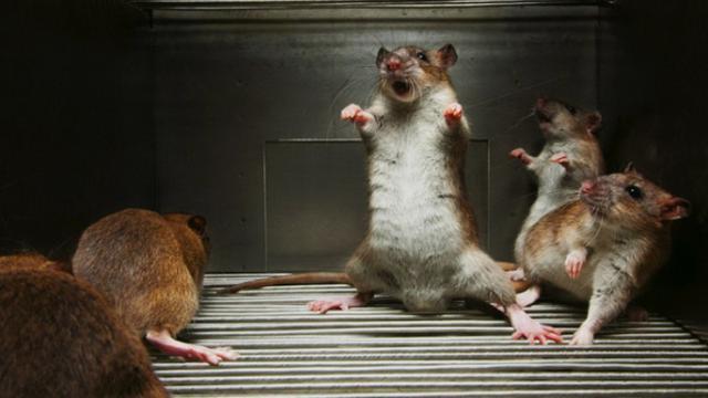 Irasi Tikus Di Rumah Foto Homeremedyhacks