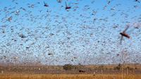 Serangan jutaan belalang di Afrika yang habiskan makanan (Sumber: Twitter/FAOKnowledge)