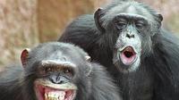 Ternyata simpanse memilki ekspresi layaknya manusia untuk berkomunikasi (Sumber foto: thehindu.com)