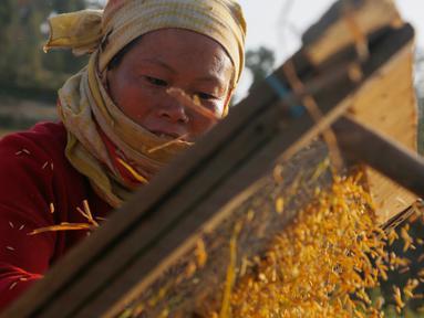 Seorang petani Nepal memisahkan biji-bijian setelah panen padi di Chaukot, pinggiran Kathmandu, Nepal (30/10). Pertanian adalah sumber utama makanan, pendapatan, dan pekerjaan bagi mayoritas orang di negara Himalaya ini. (AP Photo/Niranjan Shrestha)