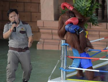 Atraksi Tinju Orangutan Jadi Hiburan di Pembukaan Phnom Penh Safari