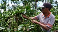 Petani kopi Kabupaten Kepahiang Bengkulu mulai meremajakan pohon kopi tua dengan sistem stek varietas unggul (Liputan6.com/Yuliardi Hardjo)