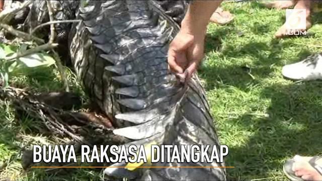 Seekor buaya raksasa sepanjang 4,5 meter ditangkap petani beramai-ramai.