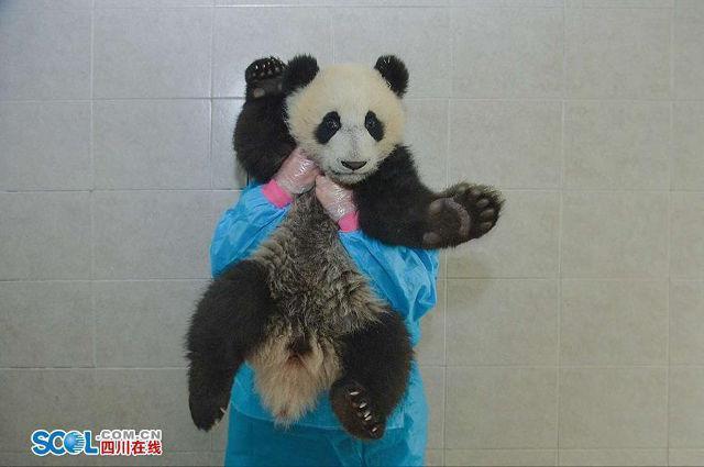 Duan dan seekor panda asuhannya | Photo: Copyright shanghaiist.com