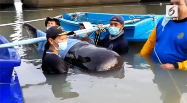Seekor paus tergeletak mati di Provinsi Songkhla, Thailand karena menelan 80 kg plastik.