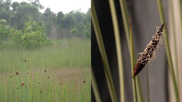 Lepironia articulata (Sumber: Ong Hut Co.)