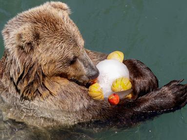 Seekor beruang cokelat memakan es buah beku pada hari yang panas di kebun binatang Roma, Italia, Selasa (25/6/2019). Suhu tertinggi yang berkisar 37 sampai 40 derajat Celsius diperkirakan terjadi di wilayah Italia utara dan tengah. (AP Photo/Andrew Medichini)