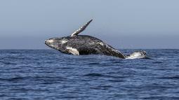 Atraksi seekor paus bungkuk yang melompat keluar dari air di perairan Samudera Pasifik di Los Cabos, Meksiko (14/3). Pariwisata adalah sumber devisa terbesar ketiga di Meksiko. (AFP/Fernando Castillo)