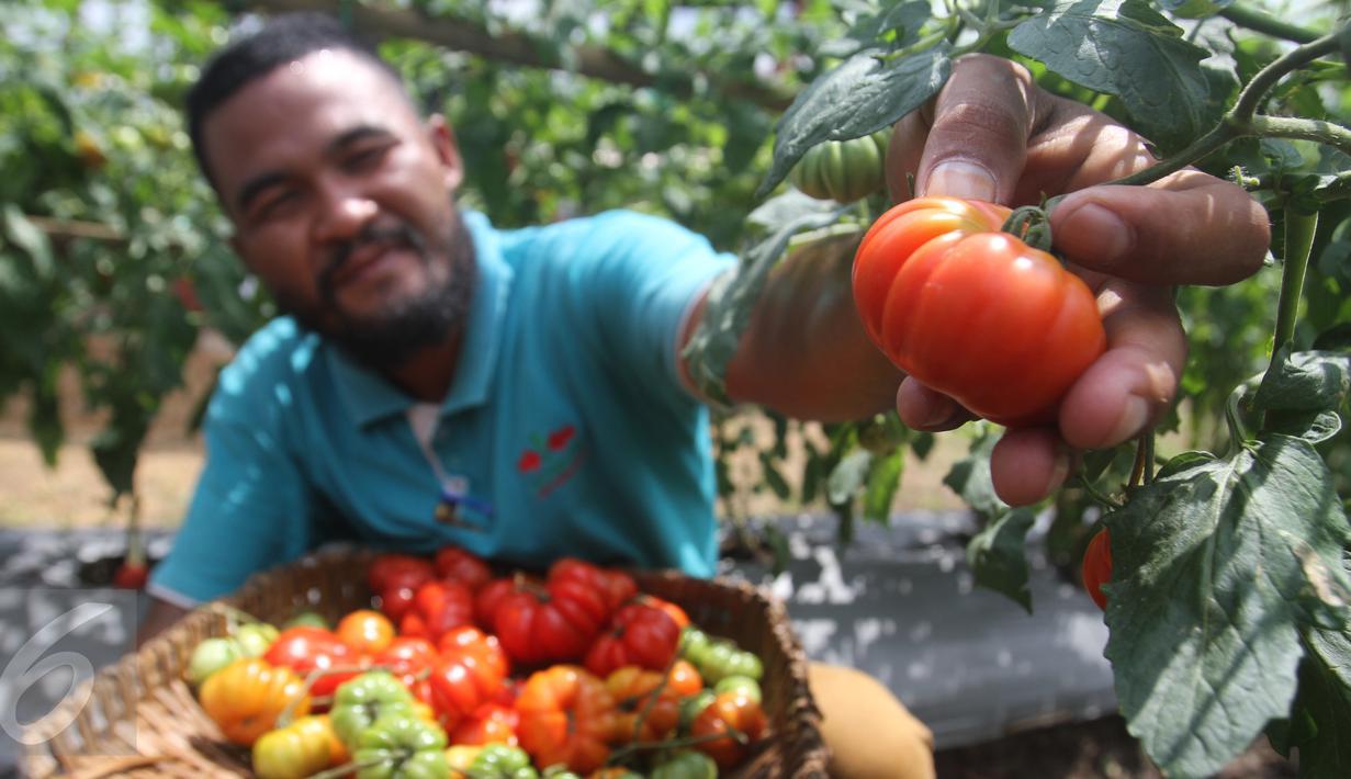 Petani binaan PT East West Seed Indonesia (Ewindo) memanen tomat saat Expo Nasional Cap Panah Merah di Jawa Barat, Jumat (5/5). Sebanyak 700 petani hadir dalam acara expo tersebut. (Liputan6.com/Istimewa)