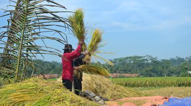 Petani panen padi di Desa Cingebul, Lumbir, Banyumas. (Foto: Liputan6.com/Muhamad Ridlo)