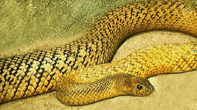 Warna kuning terang, termasuk kepala dan leher; pada musim panas. (Creative Commons)