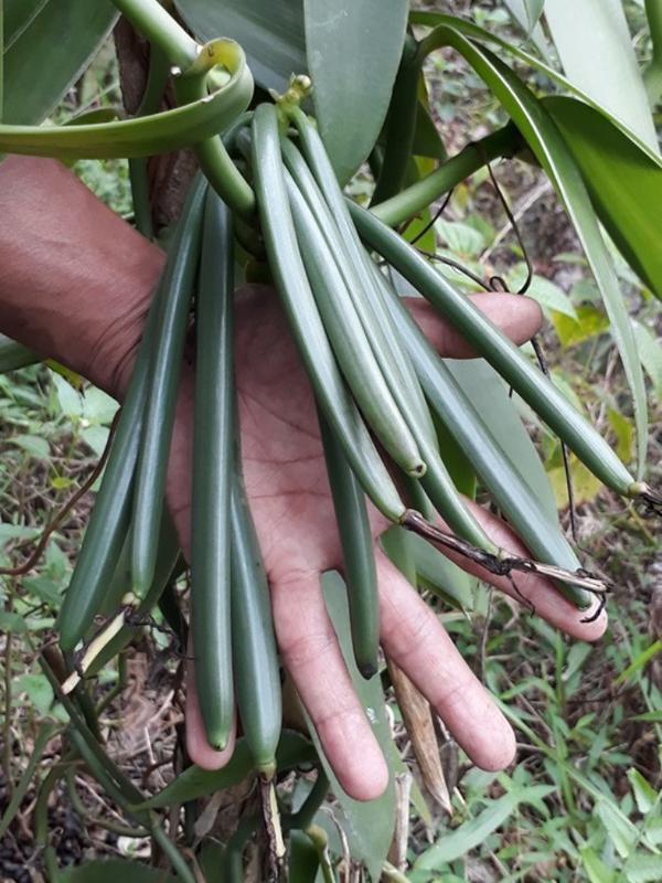 Buah atau polong vanili berusia tiga bulan setelah dikawinkan.  (Liputan6.com Muhamad 3b5d66d714