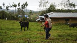 Calon ibu negara Peru, Lilia Paredes (48) menuntun seekor anak sapi di tanah miliknya di pedesaan Chugur, pada 22 Juli 2021. Suaminya, Pedro Castillo yang merupakan mantan guru dan pemimpin serikat pekerja memenangkan pemilihan presiden Peru. (AP/Franklin Briceno)