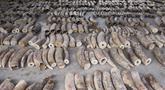 Gambar yang dirilis Badan Taman Nasional pada 23 Juli 2019 menunjukkan gading gajah yang disita di Singapura. Aparat Singapura menggagalkan penyelundupan sebanyak 8,8 ton gading yang diperkirakan diambil dari hampir 300 gajah Afrika. (Handout/National Parks Board/AFP)