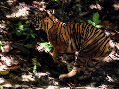 Foto yang diambil pada 20 Juni 2020 memperlihatkan seekor Harimau Sumatra liar berjenis kelamin betina berlari keluar dari kerangkeng besi saat proses pelepasliaran di kawasan Taman Nasional Gunung Leuser (TNGL), Aceh. (CHAIDEER MAHYUDDIN / AFP)