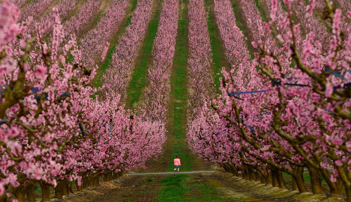 Seorang anak berjalan di tengah hamparan bunga persik yang bermekaran di Aitona, Catalunya, Spanyol (5/3/2021).  Hamparan kebun bunga persik ini merupakan salah satu destinasi wisata terbaik di Aitona. (AFP/Pau Barrena)