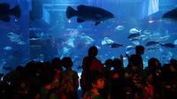 Ikan kerapu giant grouper di Jakarta Aquarium. (Liputan6.com/Johan Tallo)