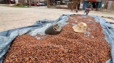Kakao di Palu 1