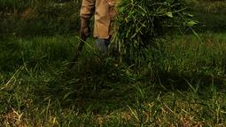 Suwandi (80) mencari rumput di perkebunan Kalimalang, Jakarta, Jumat (4/1). Suwandi mencari rumput untuk makan ternak sapi dengan upah Rp 5000 per ikat. (Merdeka.com/Imam Buhori)