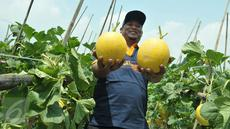 Petani menunjukkan melon premium Stella F1 di Teluk Naga, Tangerang, Kamis (20/4). PT East West Seed Indonesia (Ewindo) berhasil membina petani di sekitar Jakarta dengan teknik budidaya tanaman hortikultura berkualitas tinggi. (Liputan6.com/Helmi Afandi)