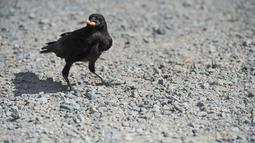 Burung  gagak dilatih memungut puntung rokok di taman Puy du Fou, Prancis barat, Selasa (14/8). Sebanyak enam gagak diajak untuk membersihkan taman dengan menggunakan kotak kecil yang memberikan santapan lezat. (AFP/SEBASTIEN SALOM GOMIS)