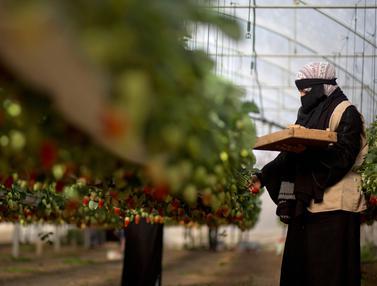 Potret Pekerja Wanita Palestina di Kebun Stroberi