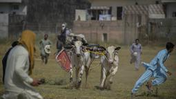 Penonton berlari ke tempat yang aman setelah salah satu peserta kehilangan kendali atas sapi yang diadunya dalam kompetisi balapan sapi tradisional di pinggiran Islamabad, Pakistan, Minggu (27/6/2021). Ditengah pandemi covid-19, balapan sapi ini disaksikan banyak penonton. (Farooq NAEEM/AFP)